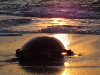 Oman - Jas al Rinz Turtle Reserve