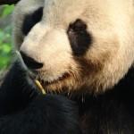 China - Chengdu - Panda Center