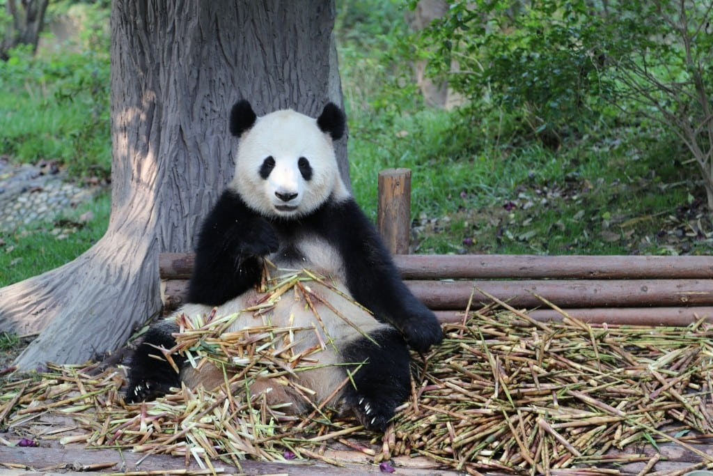 China - Chengdu - Panda Center
