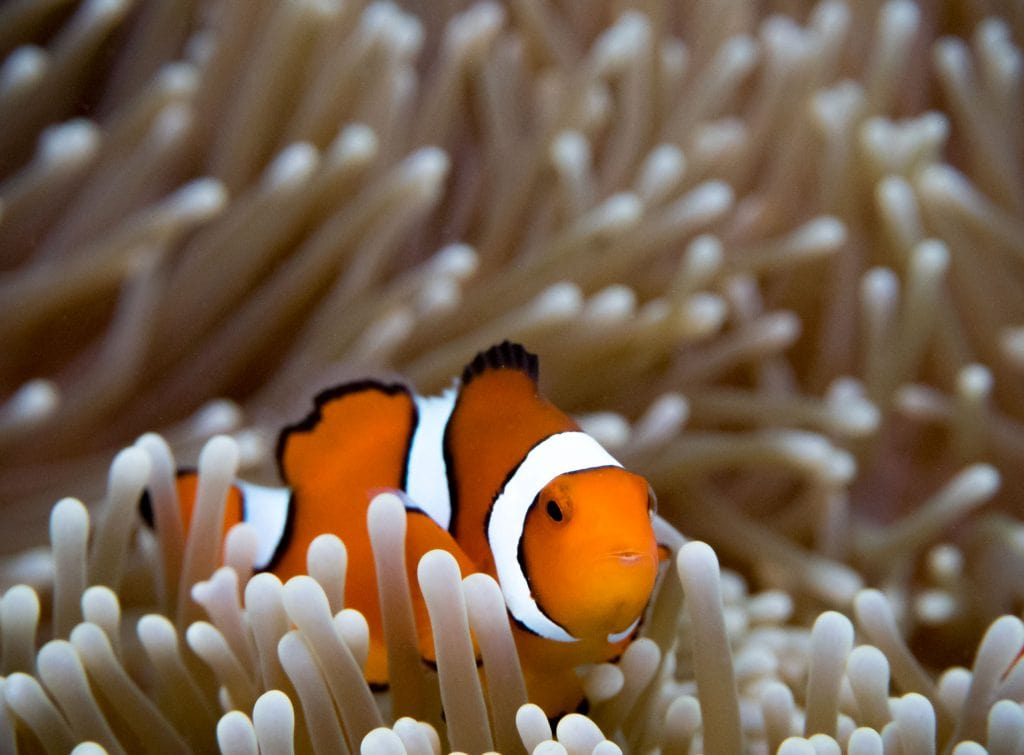 Snorkeling Clown Fish - SOLOMON ISLANDS - 7 days in Solomon Islands itinerary: travel guide, tips & inspiration