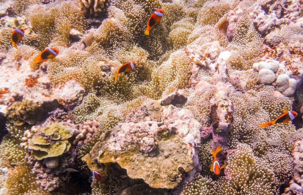 Tanna Snorkeling Clown Fish - VANUATU - 7 days in Vanuatu itinerary: travel guide, tips & inspiration