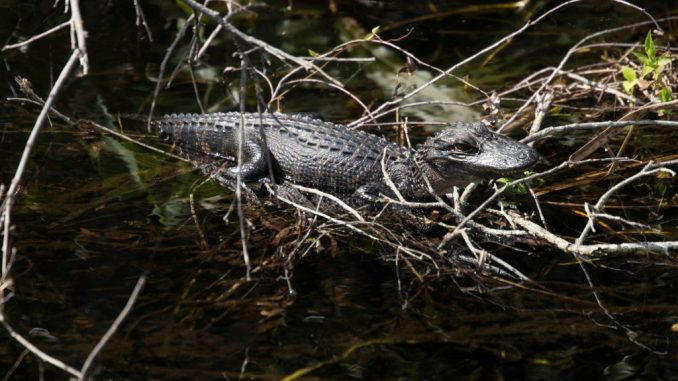 Exploring-the-Everglades-Shark-Valley-wildlife-by-bike-air-boat
