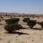Oman - Frankencense Park of Wadi Dawkah