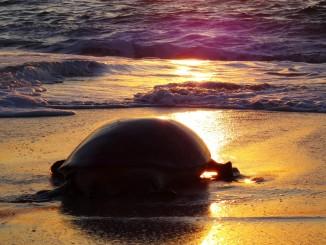Giant sea turtle heading back to the sea
